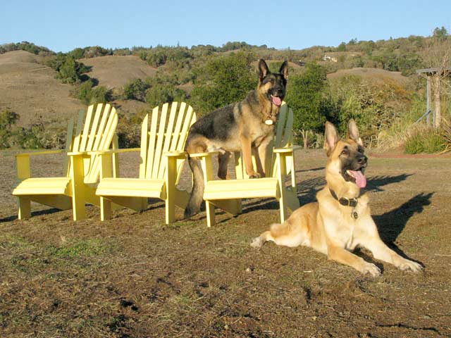 Three Legged German Shepherds Wyatt and Travis Ray