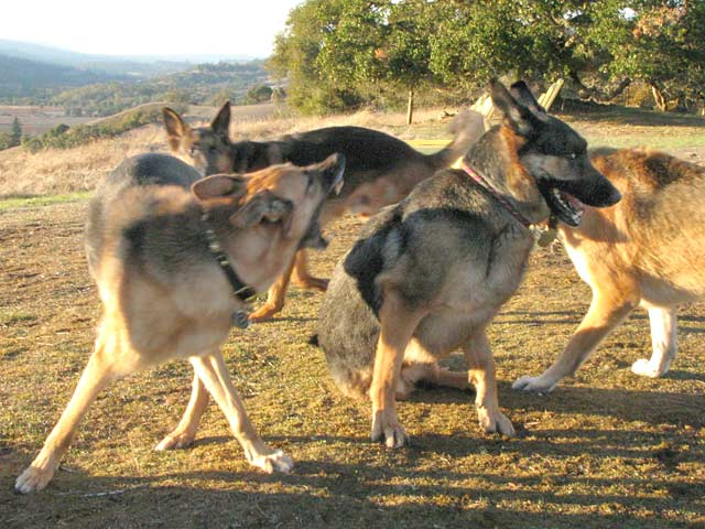 Three Legged German Shepherd Smackdown