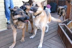 Oaktown Pack Tripawd German Shepherd Party