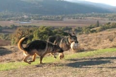 Oaktown Pack Three Legged German Shepherd Tripawds