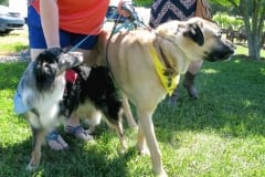 Tripawds at Greyhounds Rock VA Party