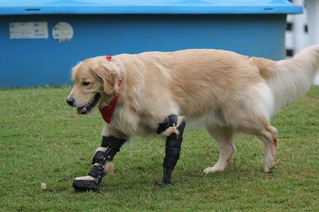 Ortho Pets FrontLeg Prosthetic and Brace Example