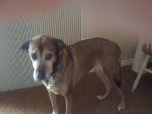 Senior Dog Sophie Before Paralysis Diagnosis