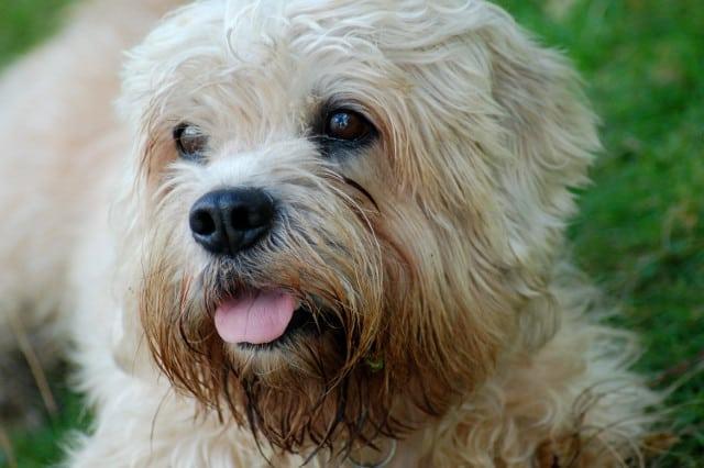 Dandy Dinmont Terrier Tripawd