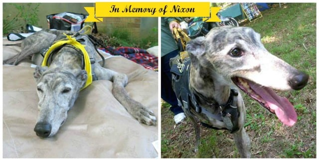 Greyhound amputee dog cancer survivor