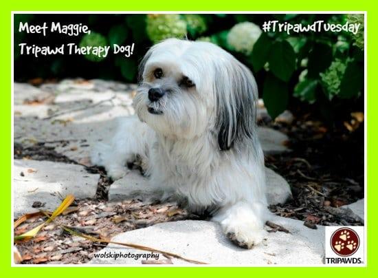 Tripawd Therapy Dog