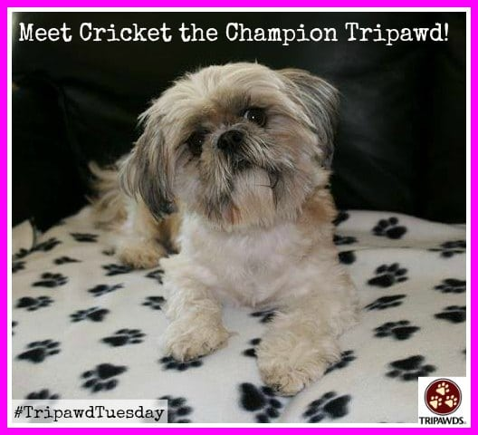 Tripawd Tuesday Shih Tzu