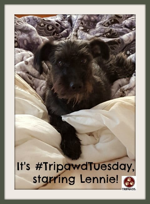 Tripawd Tuesday Lennie Rescue