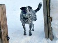 Blue Three Legged Healer in Snow