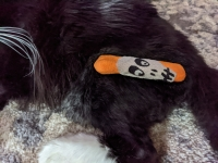 Tripawd cat remaining leg surgery recovery