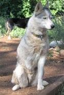Sled dog celebrates year on three legs