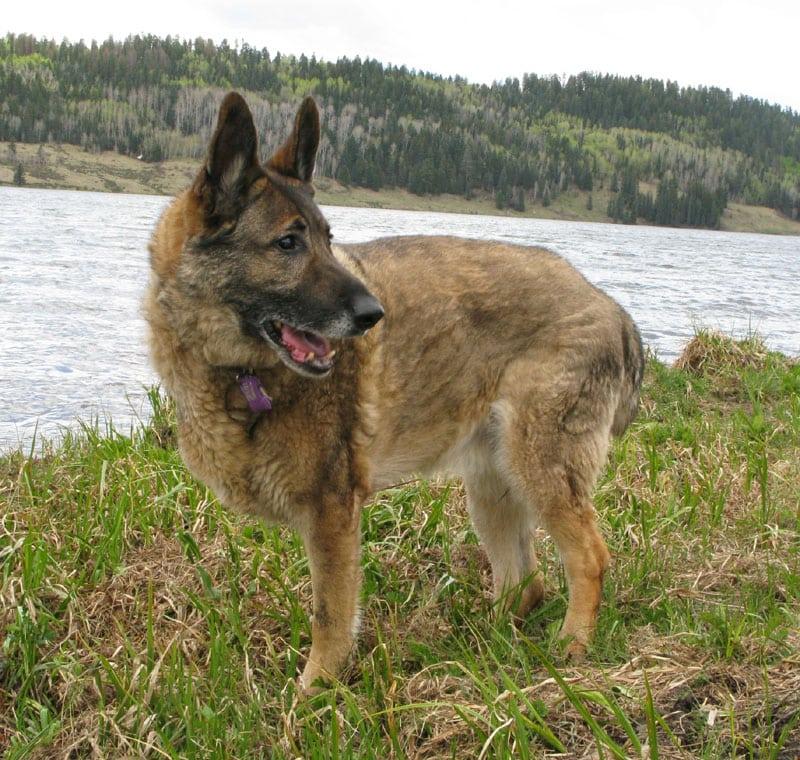 Three legged shepherd dog celebrates one year on three legs