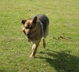 Three legged shephered dog Rocco