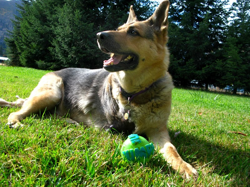 three legged german shepherd rocco