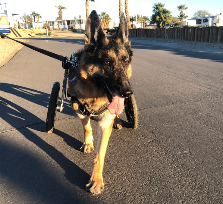 three legged German Shepherd in wheelchair