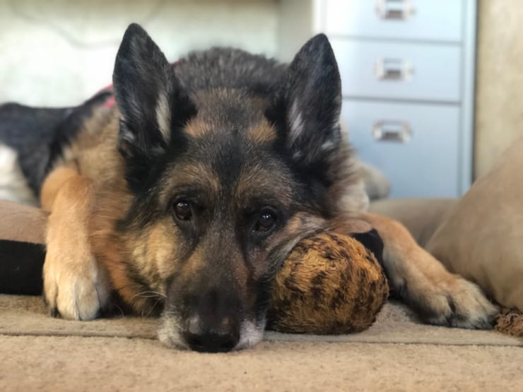 older Tripawd dog Wyatt Ray