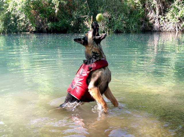 Tripawd GSD Wyatt Swims in Comal River