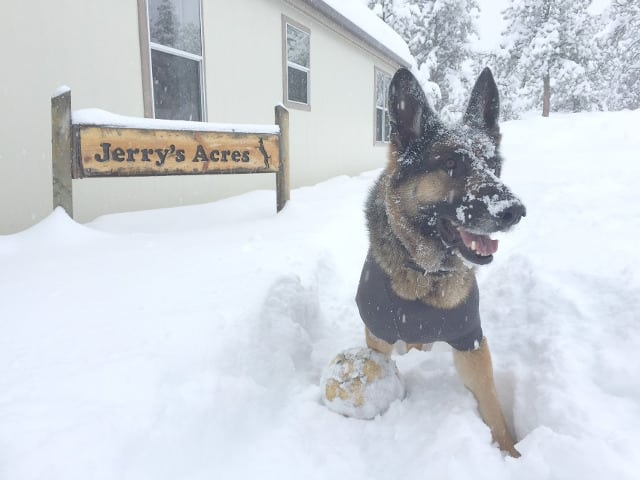 German Shepherd, snow, Colorado, Mayuary