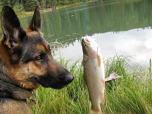 Tripawd, dog, german shepherd, three-legged, recipe, grain-free, treats, fish, salmon