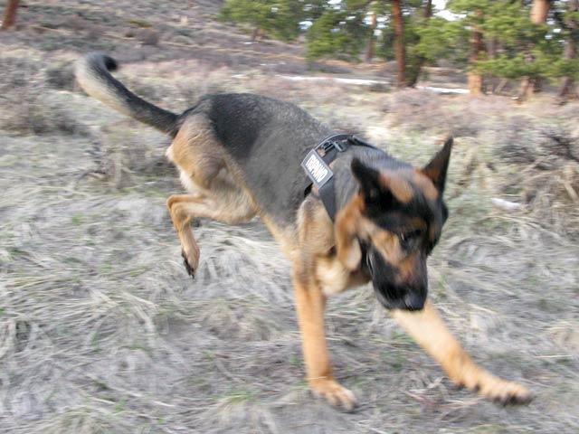 Tripawd German Shepherd Wyatt