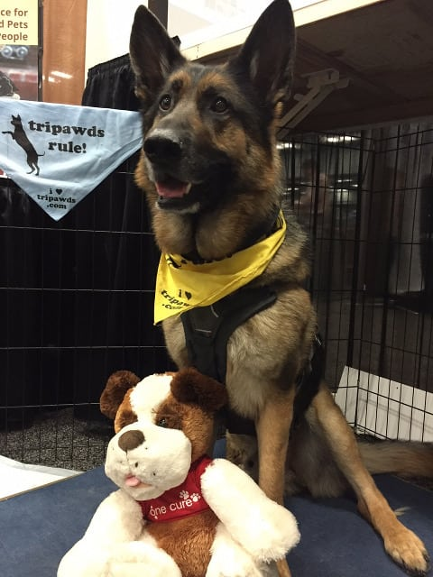 german shepherd, canine cancer, tripawd, fights