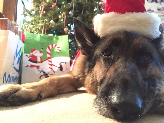 Christmas Tripawd German Shepherd
