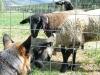 Wyatt says goodbye to Vickers Ranch sheep