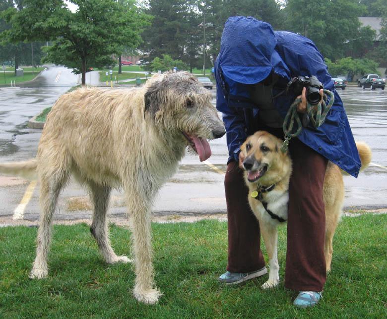Tripawd wolfhound Finnegan