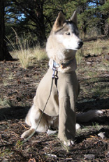 Sled Dogs Bone Cancer Recovery 1