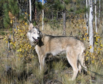 Sled Dogs Bone Cancer Recovery 5
