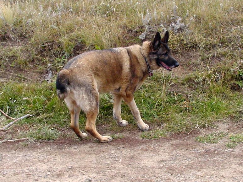 Bone Cancer Dog Eisen from Southern Colorado