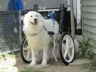 Tripawd Spirit Denali Uses Her Wheelchair