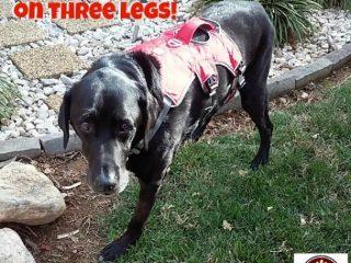 senior dog Tripawd