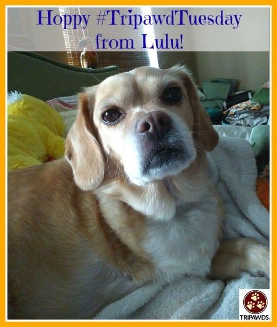 Tripawd Tuesday Lulu