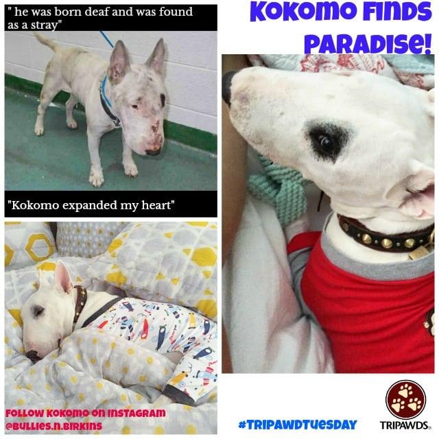 Tripawd Tuesday Kokomo thrives