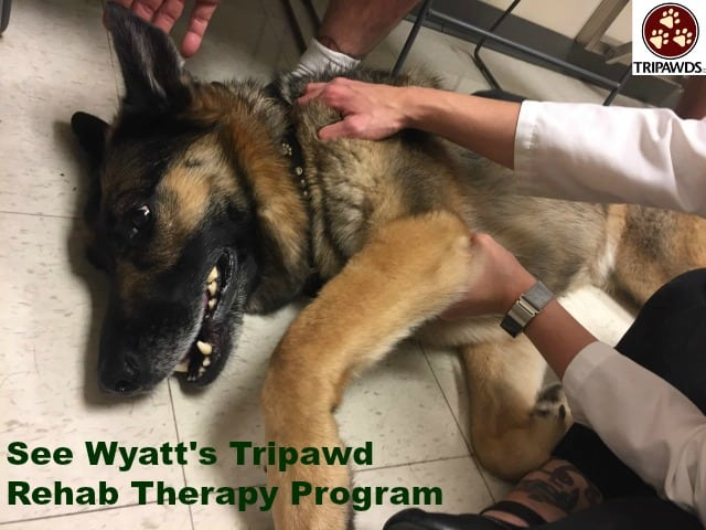 Tripawd rehab therapy exercises