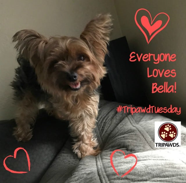 Trripawd Tuesday Bella Yorkie