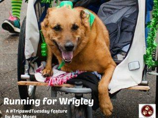 Tripawd Tuesday Wrigley