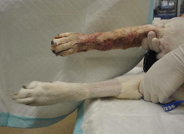 Bostonplasty limb sparing for dogs