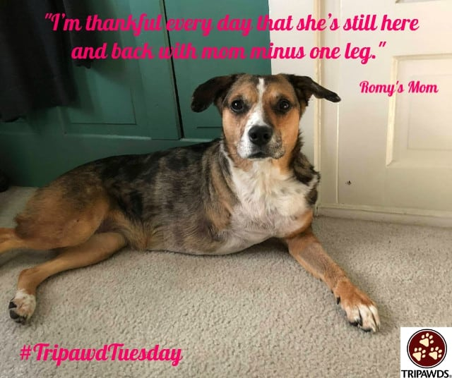 Tripawd Tuesday Romy