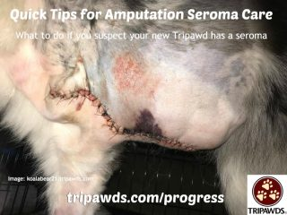 Tripawd amputation seroma care