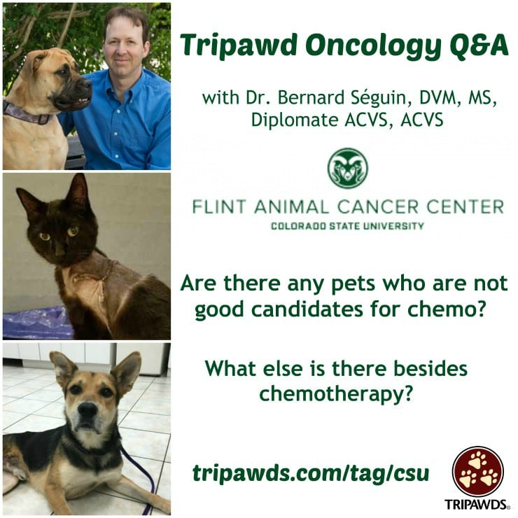 Tripawd Chemotherapy Candidates and Alternatives