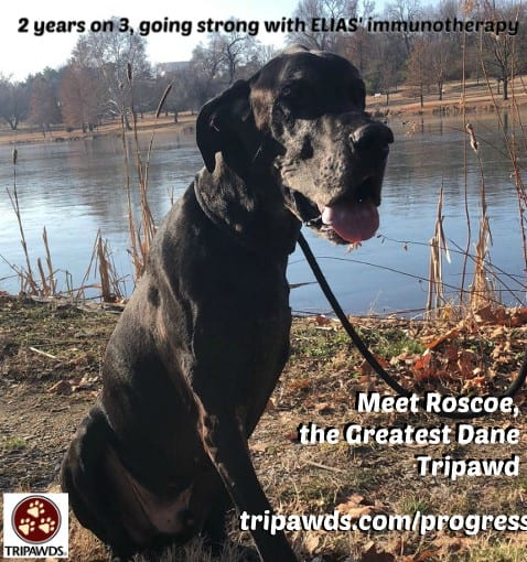 osteosarcoma,survivor,great dane,ELIAS,immunotherapy,vaccine,dogs,cancer,pets
