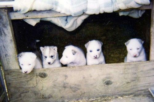 Calpurnia Puppy