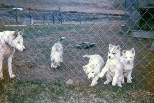 Calpurnia and Puppy Pack