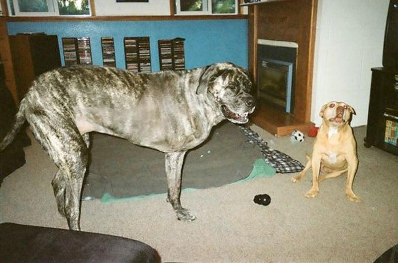 Three Legged Big Dog Tazzie