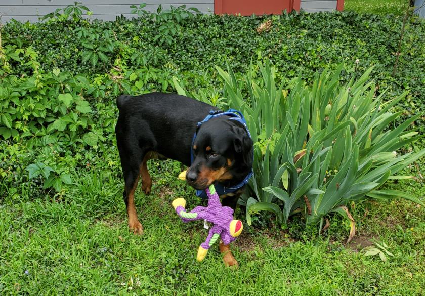 Blind Tripawd Rottweiler