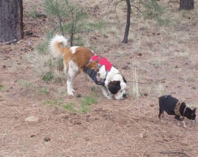 Tripawd, Saint Bernard, dog, three-legged, amputee