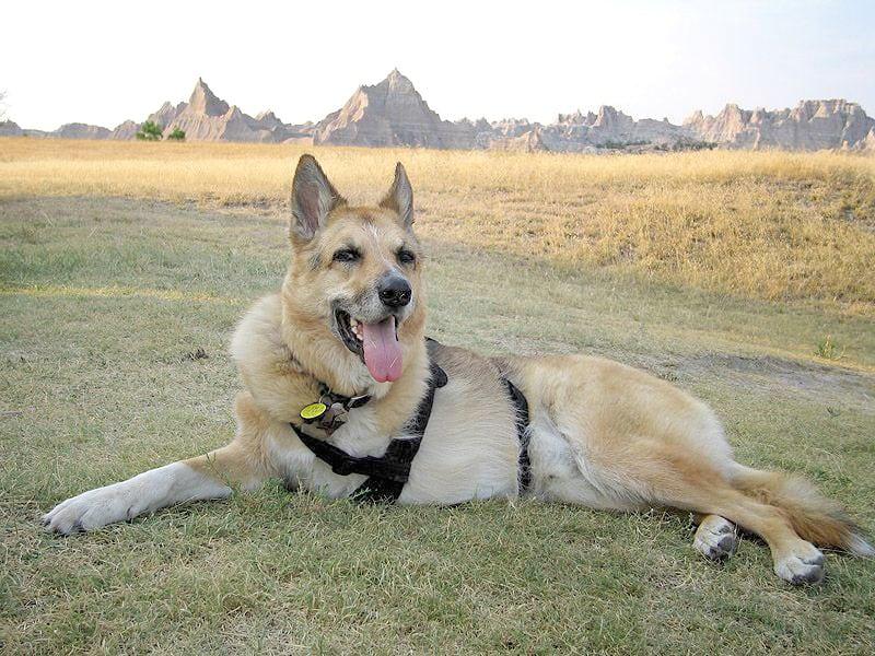 Good dog in the Badlands of South Dakota