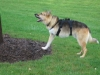 Jerry barks a a tree in September, 2007